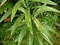 セイタカアワダチソウ(背高泡立草)(Solidago canadensis var. scabra または Solidago altissima)-葉 (5844562207).jpg