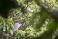 夜鷺 (25458564924).jpg