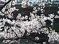 天神川の桜 - panoramio (3).jpg