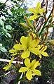 折扇草 Wachendorfia thyrsiflora -比利時國家植物園 Belgium National Botanic Garden- (9216081998).jpg