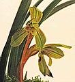 春蘭碧玉 Cymbidium goeringii 'Green Jade' -台南國際蘭展 Taiwan International Orchid Show- (39048960140).jpg
