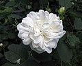 法國薔薇 Rosa gallica -波蘭 Krakow Jagiellonian University Botanic Garden, Poland- (36687350916).jpg