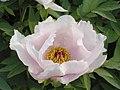 牡丹(單瓣型)-鳳丹白 Paeonia ostii Single-series -洛陽牡丹公園 Luoyang, China- (9227115739).jpg