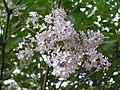 白丁香 Syringa oblata v alba -鄭州紫荊山公園 Zhengzhou, China- (9240155450).jpg