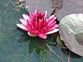 睡蓮 Nymphaea Almost Black -深圳洪湖公園 Shenzhen Honghu Park, China- (14231621768).jpg
