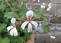 肉豆蔻天竺葵 Pelargonium x fragrans -比利時國家植物園 Belgium National Botanic Garden- (9237448231).jpg