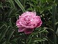 芍藥-遍地紅 Paeonia lactiflora 'Everywhere Red' -上海植物園 Shanghai Botanical Garden- (12403730785).jpg