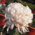 菊花-久米之芳菊 Chrysanthemum morifolium -中山小欖菊花會 Xiaolan Chrysanthemum Show, China- (11961619454).jpg