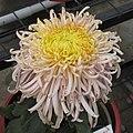 菊花-紅玫球 Chrysanthemum morifolium -中山小欖菊花會 Xiaolan Chrysanthemum Show, China- (12049310175).jpg