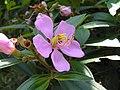 野牡丹屬 Melastoma malabathricum -新加坡植物園 Singapore Botanic Gardens- (9200881638).jpg