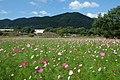 金立公園コスモス園 - panoramio.jpg