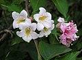 錦帶花 Weigela florida -瀋陽植物園 Shenyang Botanical Garden, China- (30116772243).jpg