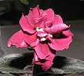 非洲紫羅蘭 Saintpaulia King Wood Red -香港沙田紫羅蘭展 Shatin African Violet Show, Hong Kong- (9204859209).jpg