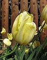 鬱金香-晚生單瓣型 Tulipa Grand D'Amour -武漢植物園 Wuhan Botanical Garden- (9216081476).jpg
