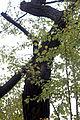 황벽나무.JPG