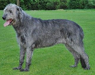 Irish wolfhound image
