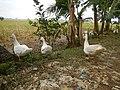 0328jfLands Culianin Ducklings Plaridel Bulacan Cattle Fieldsfvf 25.JPG