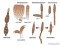 04 03 52 asexual forms, Hyphomycetes, Pleosporales, Ascomycota (M. Piepenbring).png