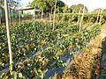 0574jfLandscapes Mabalas Diliman Salapungan Paddy fields San Rafael Bulacan Roadsfvf 04.JPG