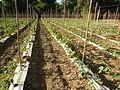 09681jfSan Rafael Bulacan Chapel Diliman Paddy Vegetable Fields Roadsfvf 03.JPG