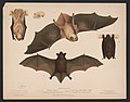 1. & 2. Red bat. Lasiurus noveboracensis 3. & 4. Little brown bat. Vespertillo subulatus. Figs. 2. & 4. Position in repose LCCN2017660738.jpg