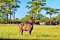 10th place- Deer on Phu Kradueng National Park, Thailand.JPG