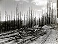 1937. Fire-killed Douglas-fir. Consolidated Timber Company Railroad. Tillamook Burn, Oregon. (34605684740).jpg
