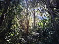 1 Indigenous Afrotemperate forest - Cape Town.JPG