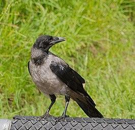 Ворона с большой дырой фото фото 331-16