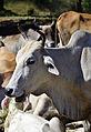 201312181258a (Hartmann Linge) Sukhothai cattle.jpg