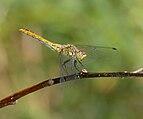 2014.07.16.-06-Woellnau Winkelmuehle--Blutrote Heidelibelle-Weibchen.jpg