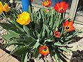 2015-03-31 10 22 05 Yellow and orange tulips along Idaho Street (Interstate 80 Business) in Elko, Nevada.JPG