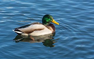 2015 Kaczka krzyżowka w wodzie (samiec)