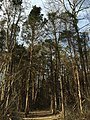 2016-03-10 16 04 40 View along the North Loop Trail as it enters a grove of Eastern Red Cedar within Ellanor C. Lawrence Park in Fairfax County, Virginia.jpg