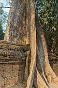 2016 Angkor, Ta Prohm (11).jpg