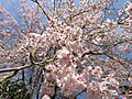2017-04-05 13 33 28 Weeping Higan Cherry flowers along Folkstone Drive at Rock Manor Court in Oak Hill, Fairfax County, Virginia.jpg