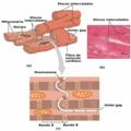 2017abc Cardiac Muscle-es.png