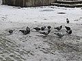 2018-02-09 (298) Columba livia domestica (city doves) at Náměstí Svornosti in Český Krumlov.jpg