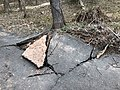 2018-03-06 14 40 48 Cracked and flipped asphalt due to a partially blown-down tree along a walking path in the Armfield Farm section of Chantilly, Fairfax County, Virginia.jpg