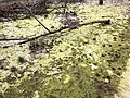 2019-03-20 16 57 58 A dried-up vernal pool filled with algae in a wooded area within Horsepen Run Stream Valley Park in Oak Hill, Fairfax County, Virginia.jpg