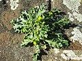 20200215Senecio vulgaris2.jpg