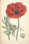 23 Papaver bracteatum - John Lindley - Collectanea botanica (1821).jpg