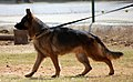 3177-german-shepherd-walking (20501600025).jpg