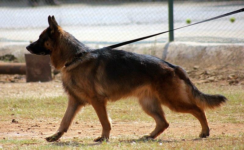 german shepherd training