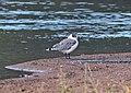355 - FRANKLIN'S GULL (10-7-2015) adult basic, patagonia lake, santa cruz co, az -04 (21403813893).jpg