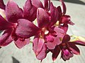 3905Orchids in the Philippines 09.jpg