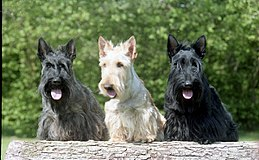 3scottish terriers.jpg