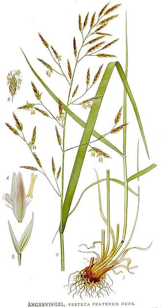 Ботаническая иллюстрация из книги К.А.М.Линдмана Bilder ur Nordens Flora, 1917—1926