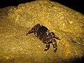 5. Мармуровий краб (Pachygrapsus marmoratus).jpg