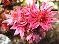 5735 - Schynige Platte - Flowers.JPG